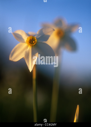 Spring daffodils in the warm light of sunset. - Stock-Bilder