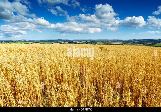 Oat Field, Thorverton, Devon, England, United Kingdom, Europe - Stock Image