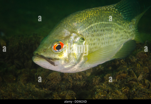Zebra mussels stock photos zebra mussels stock images for Rock bass fish