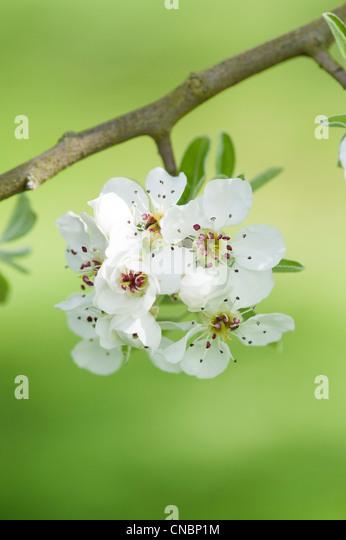 Pyrus Amygdaliformis Cuneifolia . Pear tree blossom - Stock Image