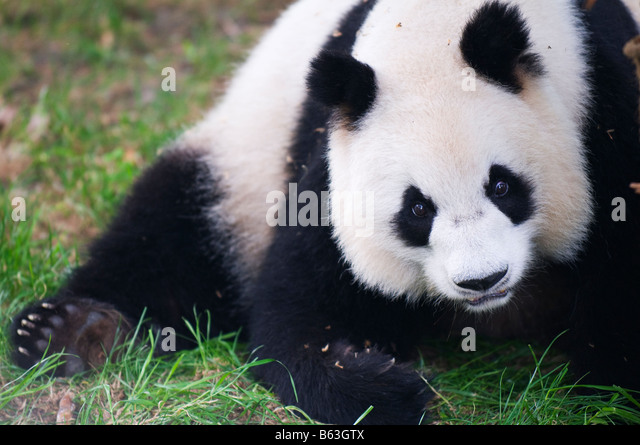 China Sichuan Panda Reserve Unesco World Heritage site - Stock Image