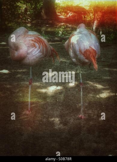 Two flamingos standing - Stock Image