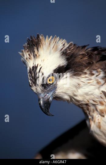 Osprey portrait Pandion haliaetus - Stock Image