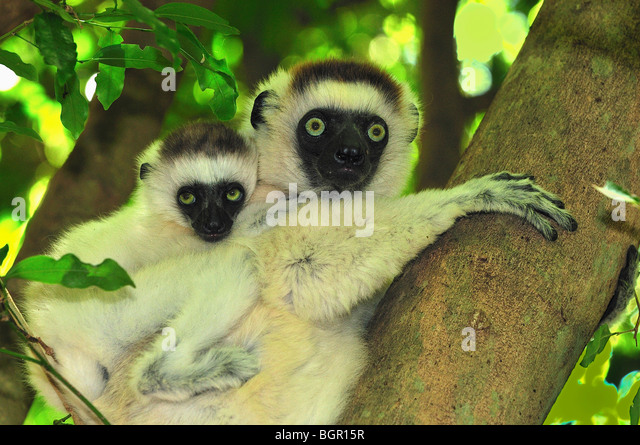 Verreaux's Sifaka (Propithecus verreauxi), female with young, Berenty Private Reserve, Madagascar - Stock Image