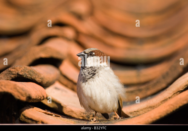 House Sparrow Passer domesticus on tiled roof Norfolk spring - Stock-Bilder