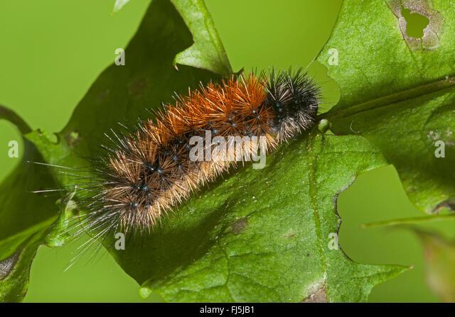 Wood tiger (Parasemia plantaginis, Phalaena plantaginis), caterpillar on a leaf, Germany - Stock Image