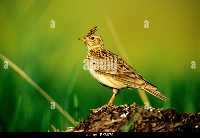 Skylark (Alauda arvensis) perched on a look-out - Stock Image