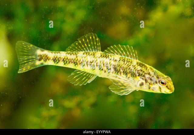 Banded Darter (Etheostoma zonale), swimming - Stock Image