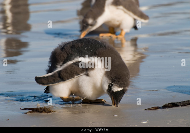Three Gentoo Penguin chicks, Pygoscelis papua, on a sandy beach. - Stock Image