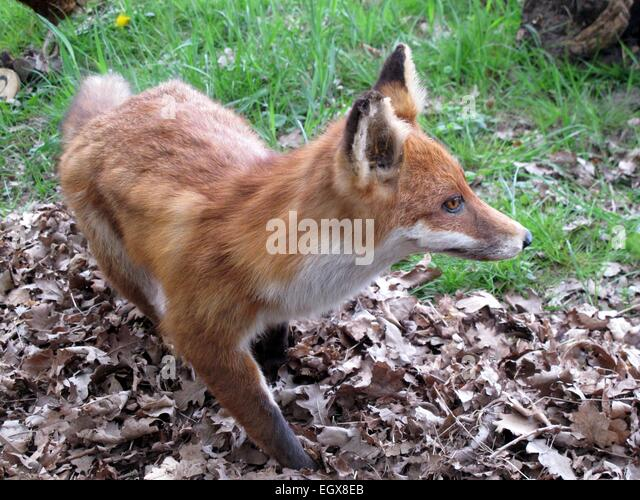 Fox - Stock Image