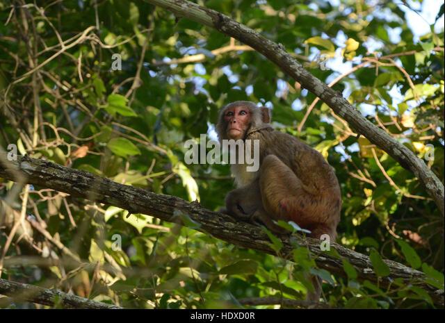 A Rhesus macaque (Macaca mulatta) sitting on a tree in Kaziranga national park, India. - Stock Image