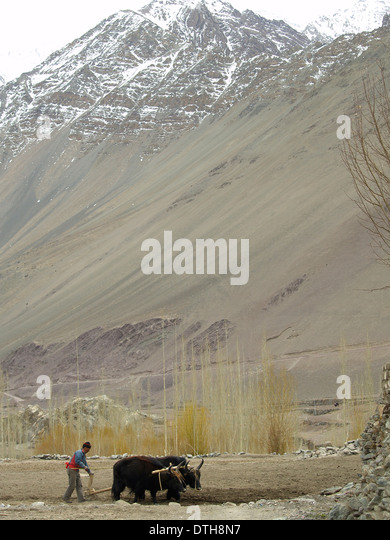 A farmer plowing with a team of dzos in Alchi,Ladakh,India - Stock Image