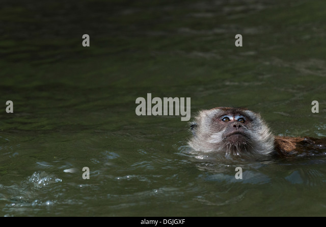 A Macaque monkey swimming. - Stock Image