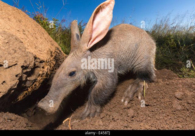 Young aardvark (Orycteropus afer) - Stock Image