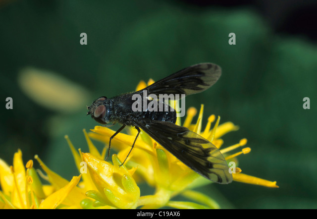 Anthrax Fly (Anthrax morio) - Stock Image