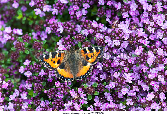 Aglais urticae. Small tortoiseshell butterfly on Thymus serpyllum 'pink chintz', flowering Breckland Thyme - Stock Image