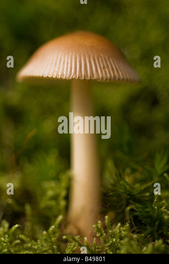 Amanita battarrae Fungi growing on damp moss on woodland edge Uk. - Stock Image