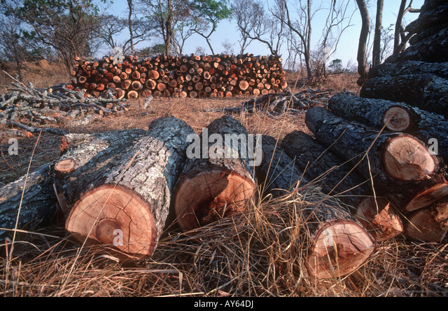 Freshly felled trees in miombo woodland awaiting charcoal burning in forest reserve near Lusaka Zambia - Stock Image