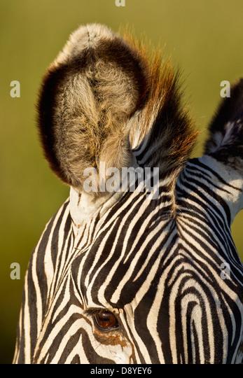 Close-up of Grevy's Zebra ear.Endangered species. - Stock Image