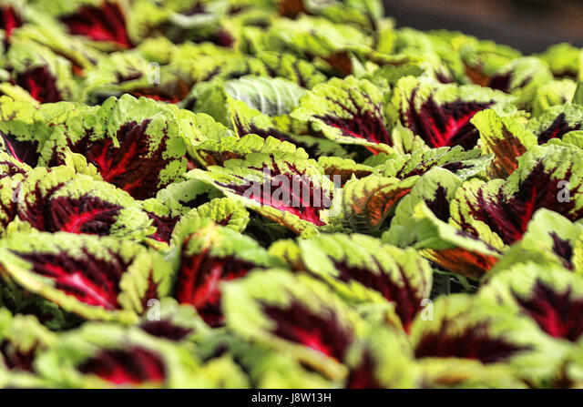 Young Coleus Stock Photos Young Coleus Stock Images Alamy