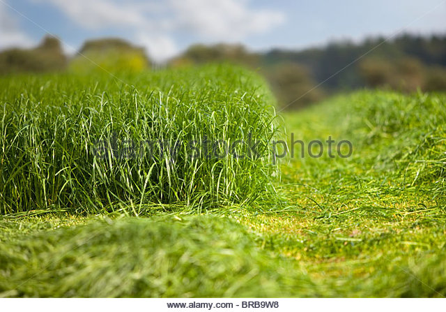 Growing and cut silage in farm field - Stock Image