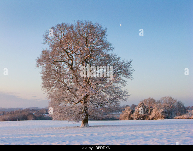 Oak tree in winter snow at sunrise in Kentish countryside near Hawkhurst UK - Stock Image