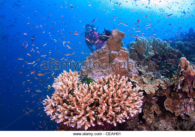 Coral Reef, Great Barrier Reef North Queensland Australia - Stock Image