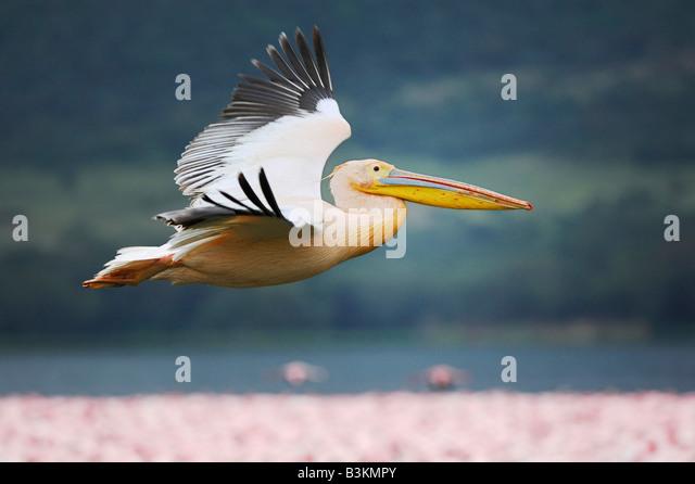 Eastern White Pelican Pelecanus onocrotalus adult in flight Lake Nakuru Kenya Africa - Stock Image