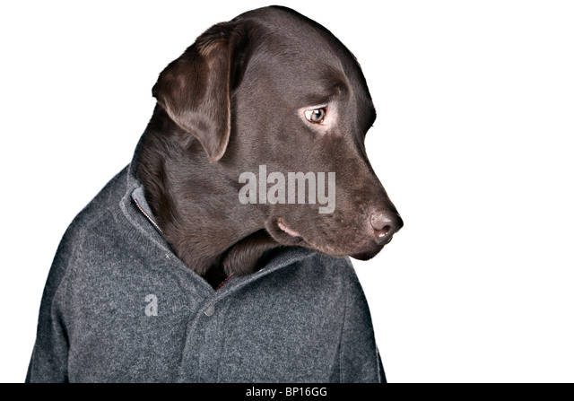 Funny Shot of a Shy Looking Labrador in Grey Jumper - Stock Image