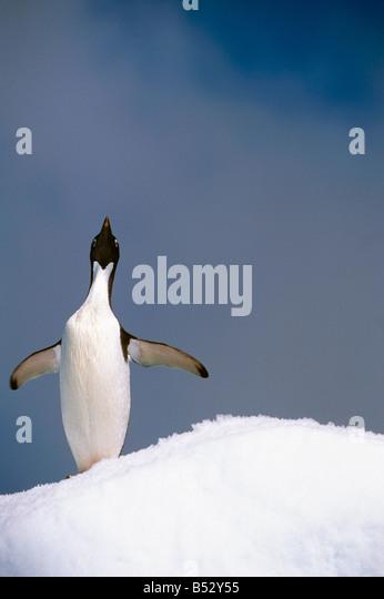 Portrait of single Adelie Penguin atop iceberg South Atlantic ocean Antarctica Summer - Stock Image