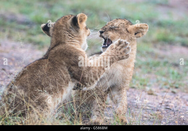 Two lion cubs fighting or playing, Masai Mara, Kenya, Africa - Stock Image