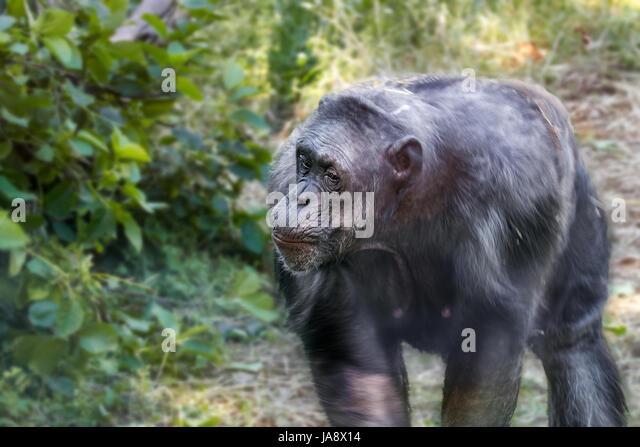 Animal image of an anthropoid ape of a chimpanzee - Stock-Bilder