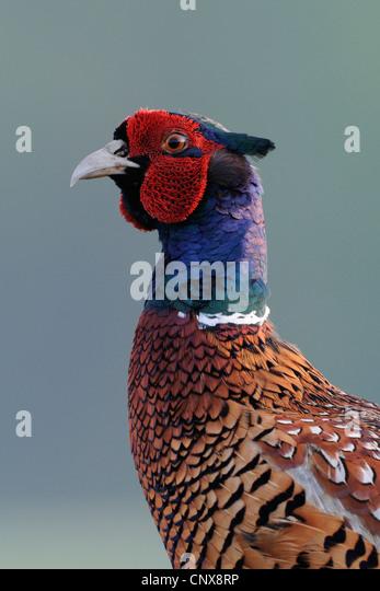 common pheasant, Caucasus Pheasant, Caucasian Pheasant (Phasianus colchicus), portrait, Germany - Stock Image