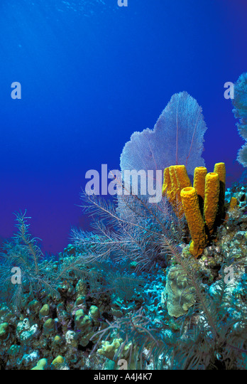 Underwater Coral Reef bright colors of a sea fan yellow sponges soft and stony corals with a deep blue water background - Stock Image