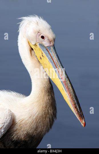 Great White Pelican Pelecanus onocrotalus Taken At Lake Awasa Ethiopia - Stock Image