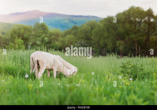 Two sheep grazing on meadow, green grass and trees - Stock-Bilder