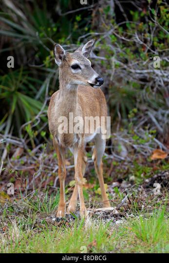 adult female deer