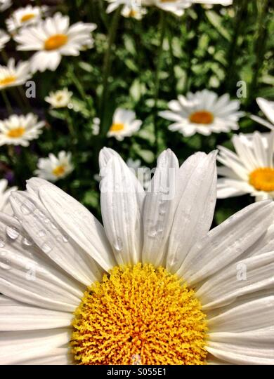 Daisy close up - Stock Image