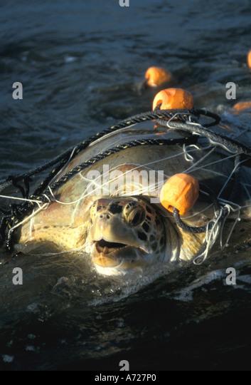Loggerhead Sea Turtle trapped fishing net Caretta caretta threatened species - Stock Image
