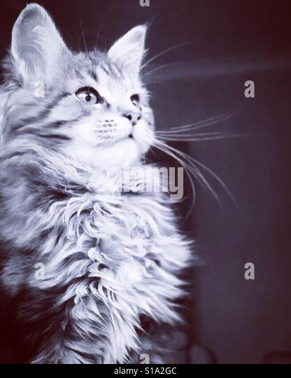 Proud Solo the Maine Coon. - Stock-Bilder