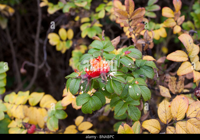 Dogrose with a partially eaten rosehip. - Stock Image