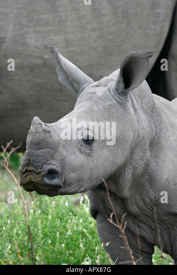 Rhino calf portrait - Stock Image