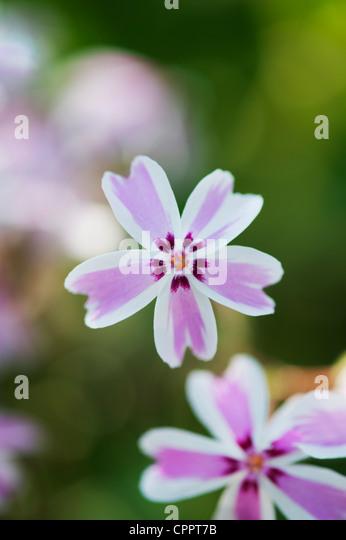 Phlox subulata 'Candy Stripe' . Creeping Phlox - Stock Image