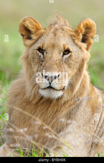 Lion (Panthera leo), young, portrait, Masai Mara National Reserve, Kenya, Africa - Stock Image