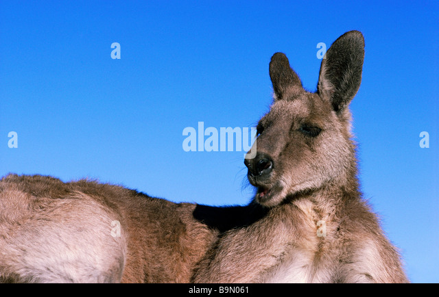 Eastern Grey Kangaroo Australia - Stock Image