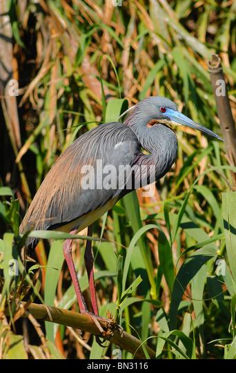 Little Blue Heron (Florida caerulea) at nesting time in Orlando, Florida, USA - Stock Image