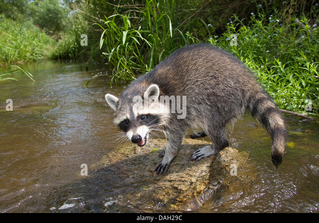 common raccoon (Procyon lotor), 4 months old male sitting on a stone in the creek , Germany - Stock Image