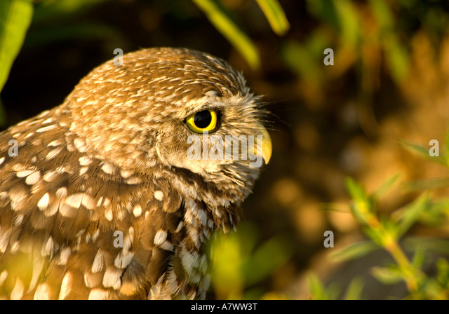 Burrowing owl Athene cunicularia portrait closeup curious nature detail - Stock Image