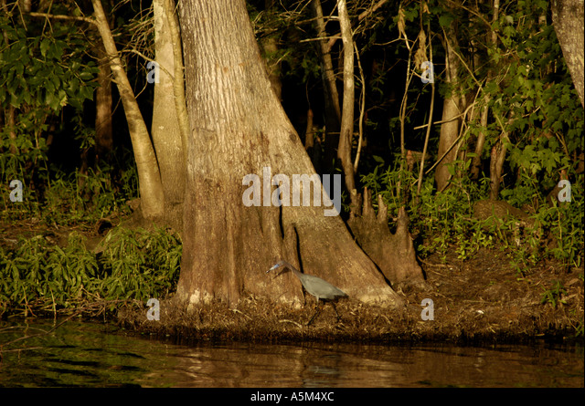 St Johns River Florida fl waterway trees cypress cypress roots tri color heron nature wildlife birding - Stock Image