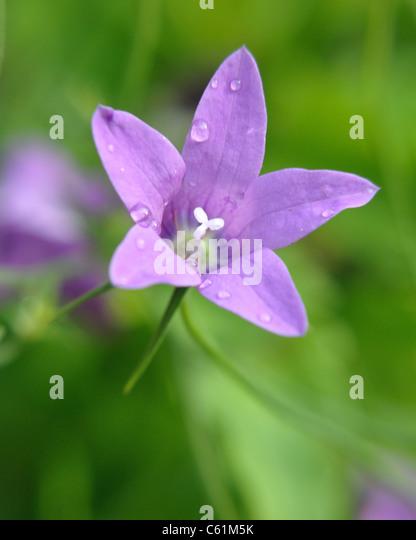 Flower head closeup card sympathy greeting purple green summer close up macro - Stock Image
